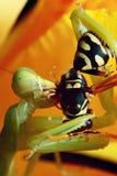 Insekten-Gottesanbeterin Lizenzfreies Stockfoto
