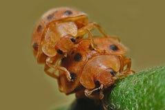 Insekten-Marienkäfer 2 lizenzfreie stockfotografie