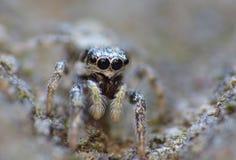 Insekten-springender Spinnen-Abschluss herauf Makro stockbild