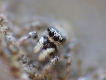 Insekten-springender Spinnen-Abschluss herauf Makro lizenzfreie stockfotografie