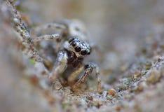 Insekten-springender Spinnen-Abschluss herauf Makro lizenzfreie stockbilder