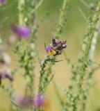 Insekten-und Wiesen-Brown-Schmetterling auf Disteln Lizenzfreie Stockfotos