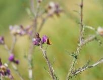 Insekten-und Wiesen-Brown-Schmetterling auf Disteln Stockfotos