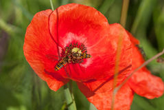 Insekten an zu einer Mohnblume Lizenzfreies Stockbild