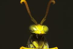 Insektenhauptmakro Stockfotografie
