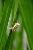Insektenhaut auf grünem Blatt Lizenzfreie Stockfotografie