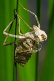 Insektenhaut auf grünem Blatt Stockfotos