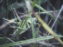 Insektenheuschrecke, die im Gras sitzt stockbild