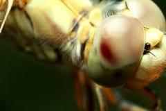 Insektenlibelle Stockbilder