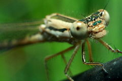 Insektenlibelle Lizenzfreies Stockfoto