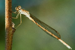 Insektenlibelle Stockfotografie
