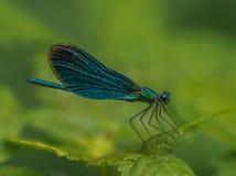 Insektenlibellen-Grünmaid, die auf einem grünen feve auf einem grünen Hintergrund stillsteht stockbild