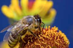 Insektenmakrobiene sammelt Blütenstaub auf einer Blume (selektiver Fokus) Stockbild