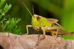 Insektenmakroheuschrecke sitzt auf einem Blatt Stockfotografie