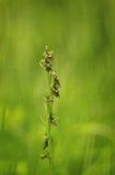 Insektennachahmen durch diese seltene Fliegenragwurz stockfoto