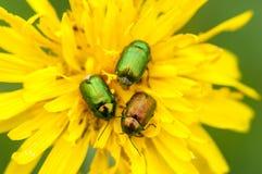 Insektenporträt-Blattkäfer Stockbild