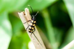 Insektenporträt gestreifter Longhornkäfer Lizenzfreie Stockfotos