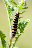 Insektenporträt-Zinnobermottengleiskettenfahrzeug Stockfotografie