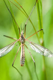 Insektenporträtkranfliege Stockbilder