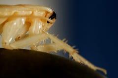 Insektenschabe Stockfotografie