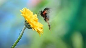 Insektenschmetterling auf einer Blume stock video