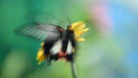 Insektenschmetterling auf einer Blume stock footage