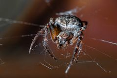 Insektenspinne lizenzfreies stockfoto