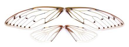 Insektenzikade auf weißem Hintergrund Stockfotos