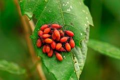 Insektmakro, Laos Stockfoto