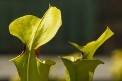 Insektsätande växtsidor för Sarracenia fotografering för bildbyråer