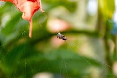 Insekty łapać w pułapkę na pająk sieci obrazy stock