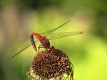 Insekty, czerwony dragonfly na kwiacie fotografia royalty free