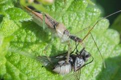 Insekty makro- Obrazy Royalty Free