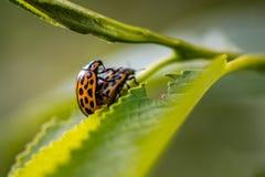 Insekty matuje na liściu fotografia royalty free