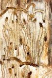 Insekty wśrodku drzewnej barkentyny Zdjęcia Royalty Free
