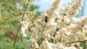 Insekty zbierają nektar od kwitnących żółtych kwiatów na gałąź Zakończenie swobodny ruch pszczoły zbierają nektar i zbiory wideo