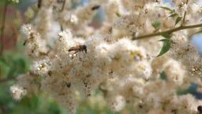 Insekty zbierają nektar od kwitnących żółtych kwiatów na gałąź Zako?czenie swobodny ruch pszczo?y zbieraj? nektar i zbiory