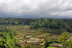 Insel Bali - Reis stellt auf (Paddy) Lizenzfreie Stockfotografie