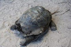 Insel-Elefantschildkröte Seychellen Praslin Curieuse stockfoto