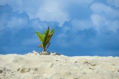 Insel Fern Sprouting im Sand lizenzfreies stockfoto