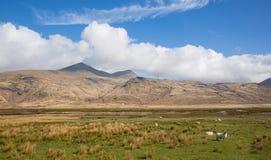 Insel Mull Schottland der BRITISCHEN Landschaftsszene mit Ben More-Berg und -schafen stockfotos