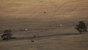 Insel Olkhon auf See Baikal Es ist ein schönes nacktes Land Weiden lassende Kühe stock video footage
