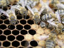 Inseminación artificial de las abejas en el colmenar del apicultor Foto de archivo libre de regalías