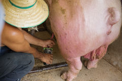 Inseminazione della carne di maiale Immagine Stock