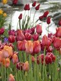 Insenatura del tulipano fotografie stock