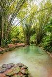 Insenatura naturale dello stagno dell'oasi in giungla di bambù tropicale in Trinidad e Tobago del nord Fotografia Stock Libera da Diritti