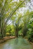 Insenatura naturale dello stagno dell'oasi in giungla di bambù tropicale in Trinidad e Tobago del nord Immagine Stock Libera da Diritti
