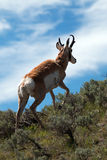 Insenatura vicina di Slough dell'antilope di Pronghorn dell'americano Immagine Stock Libera da Diritti