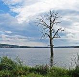 Insentient drzewny dorośnięcie od jeziora Obrazy Royalty Free