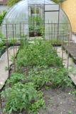 Inserisca con i pomodori e la serra dal policarbonato Fotografie Stock